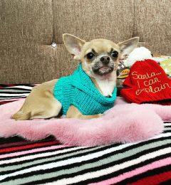 mini dog life